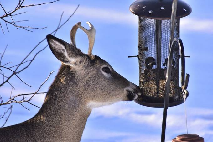 Shot out the front window, young whitetail buck quickly cleaning out the bird feeder! Nikon D3400 70-300 lens