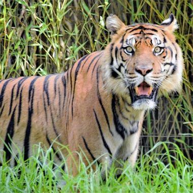 A Day At Mogo Zoo (4) - Sumatran Tiger
