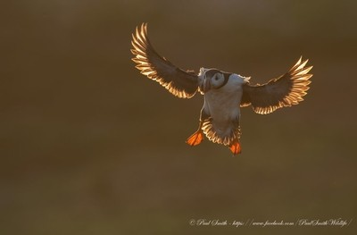 Incoming Backlit Puffin