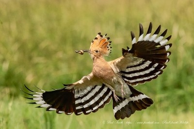 Hoopoe with Food for Young