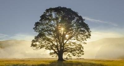 Lone beech tree