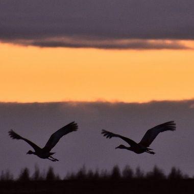 A pair of Sandhill cranes at sunset
