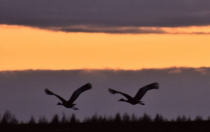 A pair of Sandhill cranes at sunset