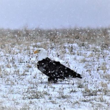 Eagle in a snowstorm