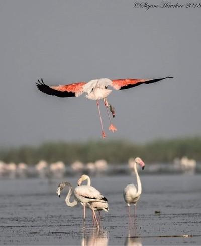 Greater Flemingo #birdsofindia #birds #bestbirdshots #eye_spy_birds #indianwildlifeofficial #wildlifephotography #wildlife #nikonindiaofficial #nikon #natgeoyourshot #natgeo #planetbirds #pocket_birds #eow #edgeofwild #nature_worldwide_birds