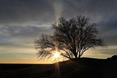 Almond tree at sunset