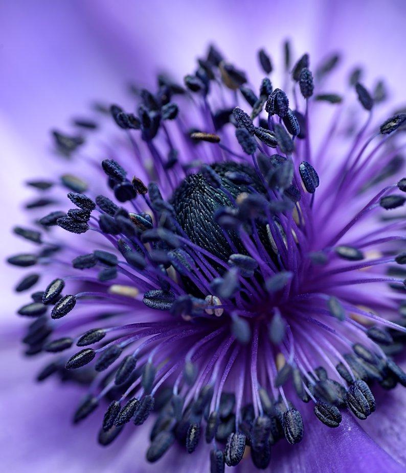 Anemone Coronaria by Styrman - Colorful Macro Photo Contest