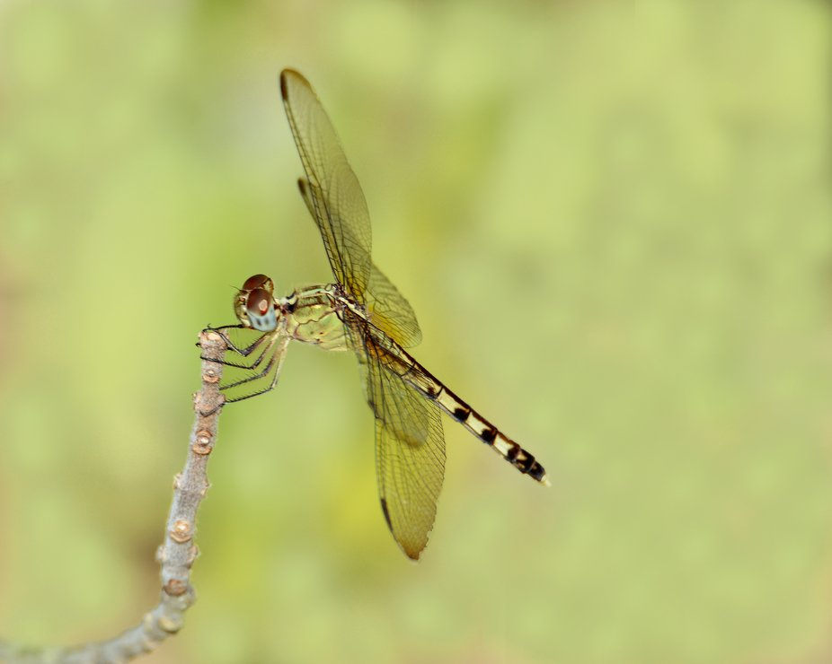 This small dragonfly was seen during September 2018 in Portland, Texas.  I think, but am not sure...
