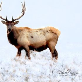 Only male elk have antlers Bulls shed and grow a new set of antlers every year New antlers are covered in fuzzy skin called velvet Antlers harden...