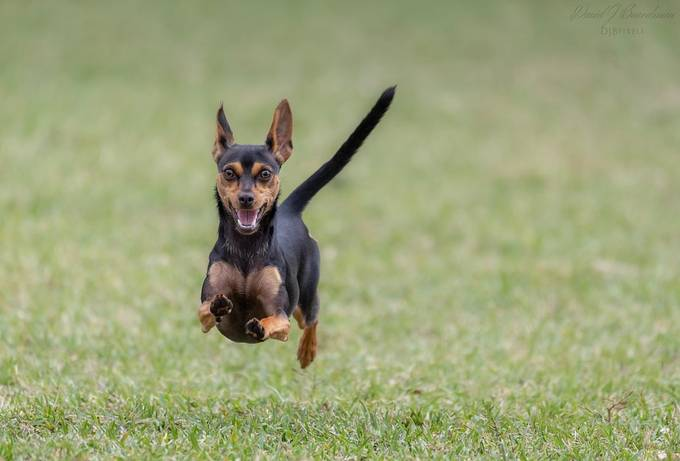 My MinPin Piper by David-B - Dogs In Action Photo Contest