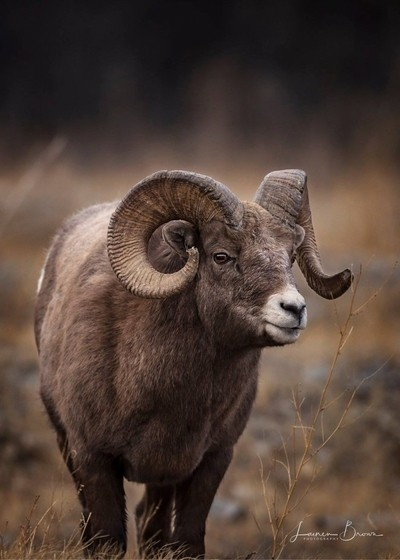 Bighorn Ram. Jasper National Park, Alberta, Canada.