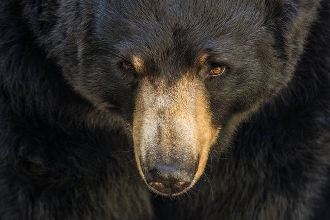 Black Bear 2016 by vanessablair - Social Exposure Photo Contest Vol 20