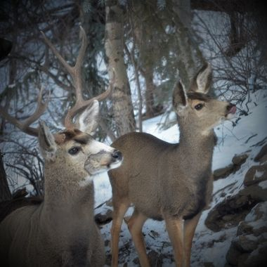 Mule deer came down the mountain to steal some bird food.
