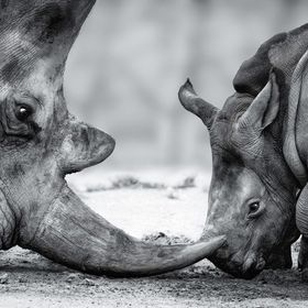 little rhino cub fighting with his dad