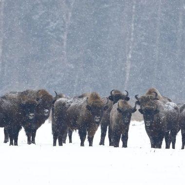 Ultimo grupo de Bisontes europeos en libertad, en el bosque de Bialowieza (Este de Polonia,frontera con Bielorusia) Los copos de nieva no me dejaban enfocar correctamente)