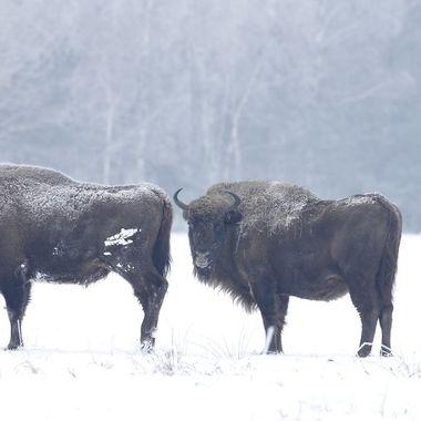 Ultimo grupo de Bisontes europeos en libertad, en el bosque de Bialowieza (Este de Polonia,frontera con Bielorusia) Lo normal es encontrarlos en grupos pequeños a la hora de alimentarse