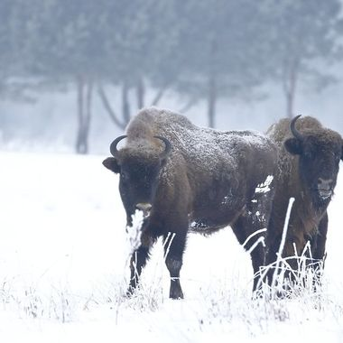 "Ultimo grupo de Bisontes europeos en libertad, en el bosque de Bialowieza (Este de Polonia,frontera con Bielorusia)  Si nos acercabamos en ""fila india"",podiamos hacerlo hasta unos 35 o 50 mt, a menos huian caminando o adoptaban posicion agresiva."