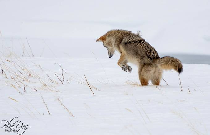 Jumping by pilardazgmez - Winter Wildlife Photo Contest