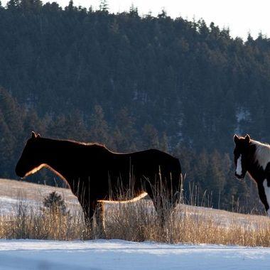 Horses on the range near Stump Lake B C