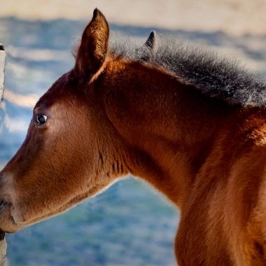 Filly Chewing on Fence
