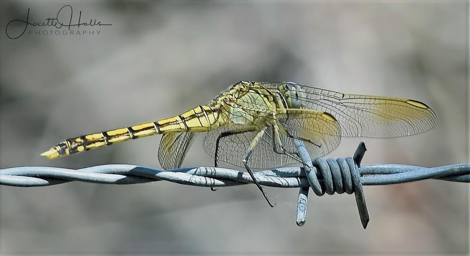 Dragon Fly (8)