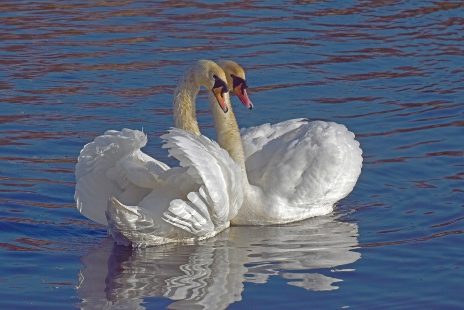 Swans, taken on the river Don in Jarrow upon Tyne UK