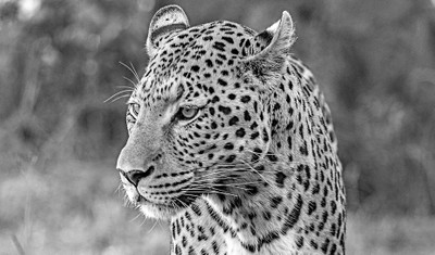 Leopard - black & white