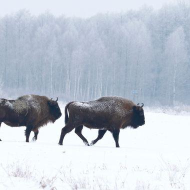 Bisontes europeos, en libertad, en el bosque de Bialowieza (Polonia)