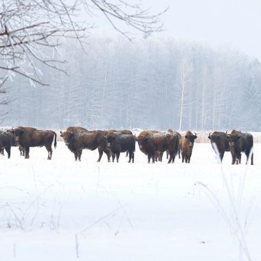 Manada de Bisontes europeos en libertad en el bosque nevado y a -8ºC, de Bialowieza (Polonia)