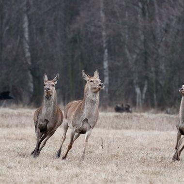 Hembras de ciervo (Cervus elaphus),hostigados por el perro de un cazador en los bosques de la region de Kutno (Polonia)