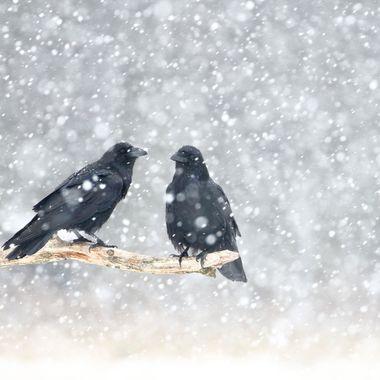 Pareja de cuervos, en celo, en un dia de fuerte nevada en los bosques de Kutno (Polonia).Mes de Enero-2019.Desde un hide.