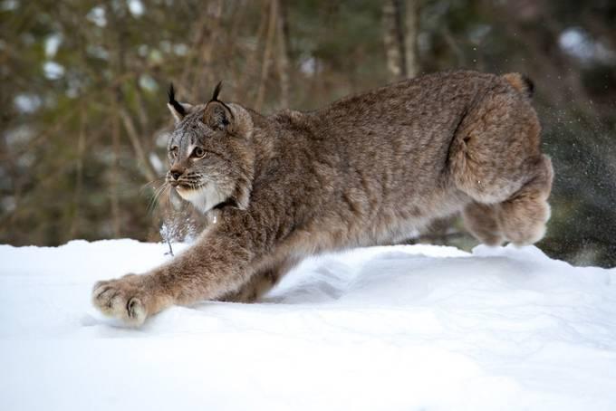 Canada Lynx by janlightfoot - Winter Wildlife Photo Contest