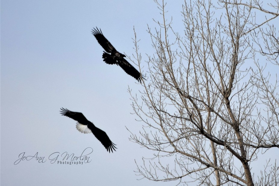 Pair of eagles flying