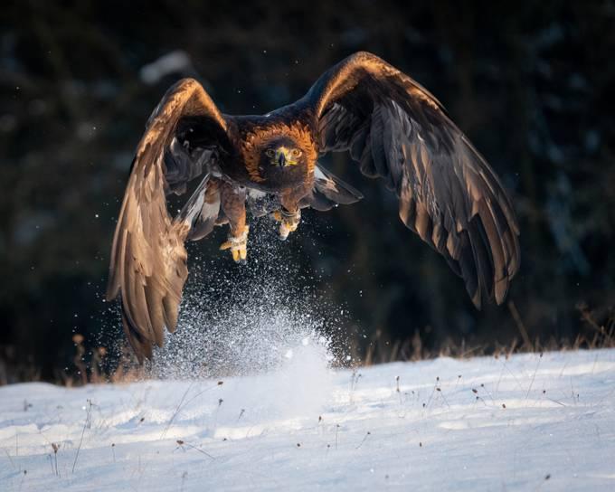 Golden Eagle by NatashaHaggard - We Love The Winter Photo Contest