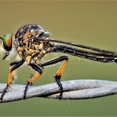 Robber Fly (5)