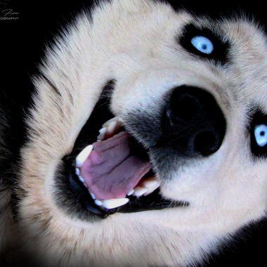 Adrian Mcleish - Farm Husky Dog - Dragon Fire Photography 2016