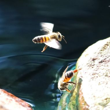 Adrian Mcleish - Flying bee water - Dreamweaver Photography 2019