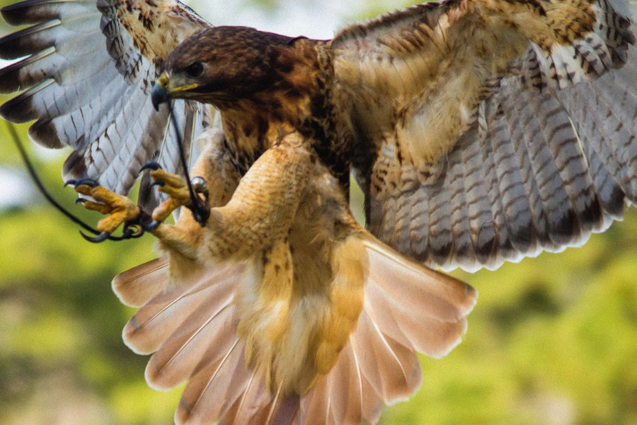 A hawk coming in for landing