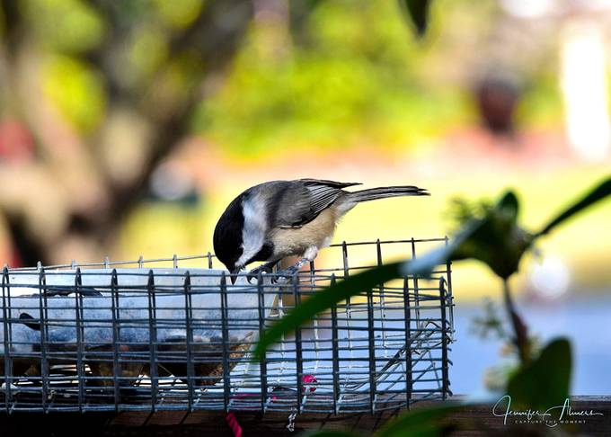 Chickadee on Feeder