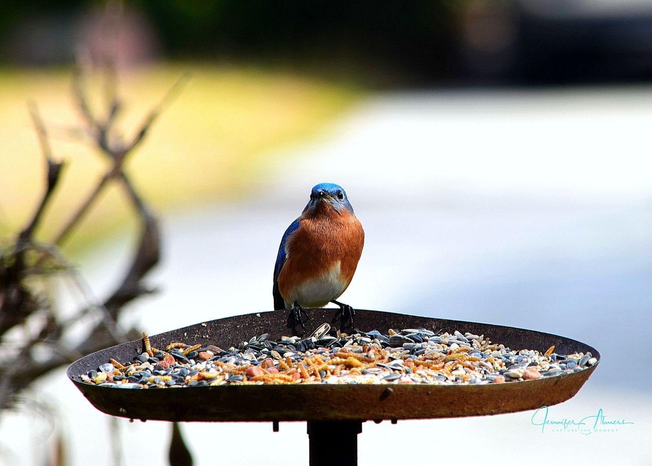 Bluebird Posing