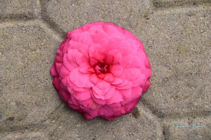 Camellia on Paver