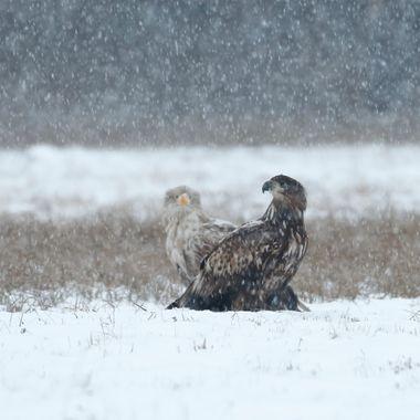 Pareja de Pigargos europeos en plena nevada en un bosque de la region de Kutno (Polonia). El Pigargo es el aguila mas grande de Europa.