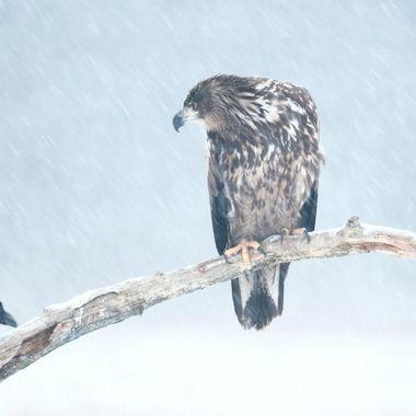 Pigargo europeo compartiendo posadero con cuervo en plena nevada. Desde un hide.  en un bosque de la region de Kutno (Polonia). El Pigargo es el aguila mas grande de Europa.