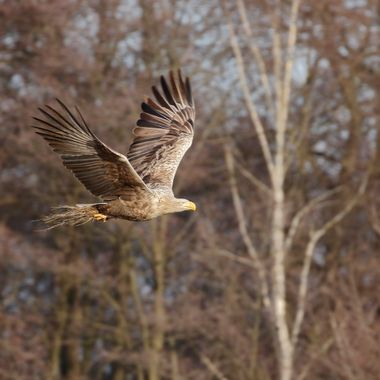 Pigargos europeo en vuelo en un bosque de la region de Kutno (Polonia). El Pigargo es el aguila mas grande de Europa.