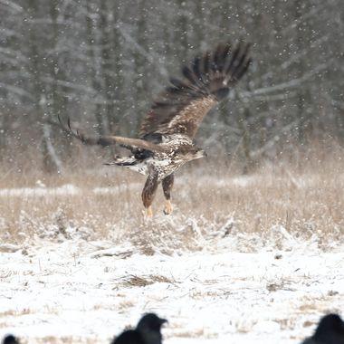 Pareja de Pigargo europeo en plena nevada,levantando el vuelo, en un bosque de la region de Kutno (Polonia). El Pigargo es el aguila mas grande de Europa.