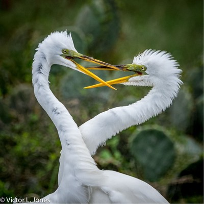 Great Egrets courting - Rockport, Texas