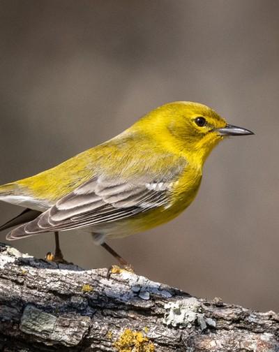 Pine warbler - Lake Livingston, Texas
