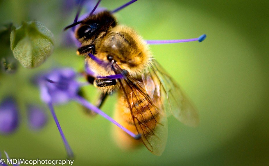 Honey Bee gathering pollen from a lavender bush