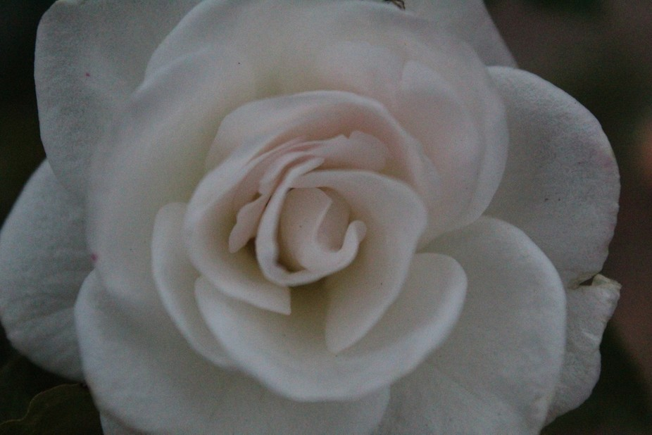 White Rose with no spider