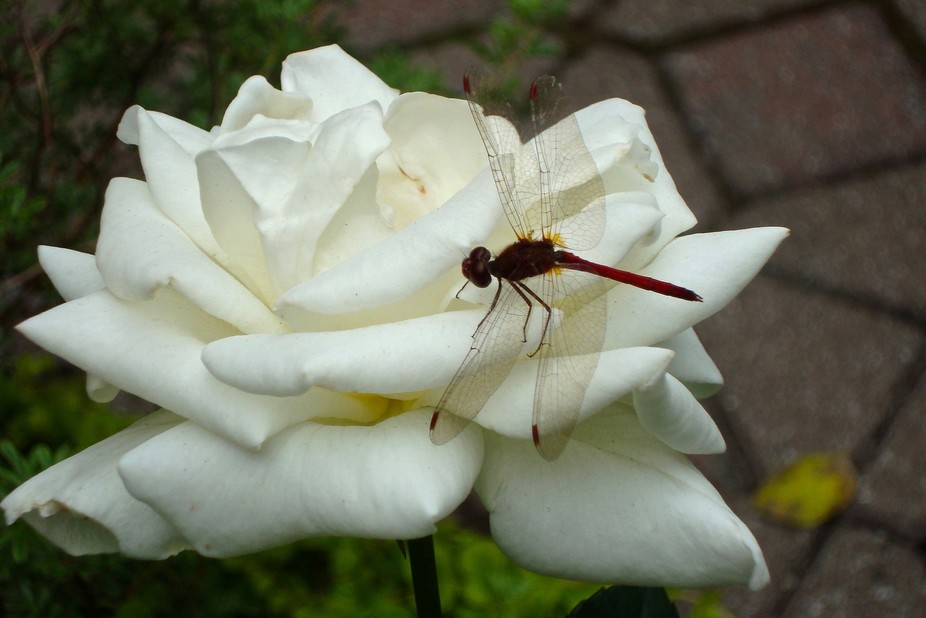 Dragon Fly on White Rose